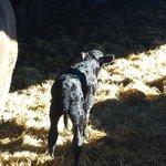 New-born calf