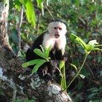 White-headed capuchin monkeys in abundance