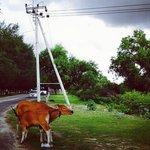 коровы)
