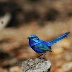 Blue Wren near the gazebo