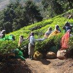au bord de la route des plantations de thé