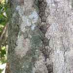 Long Tailed Bats