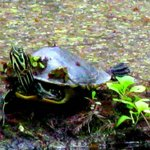 Numerous Turtles