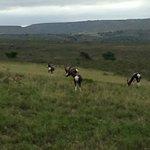 Bontebok (Antelope) Nyaru