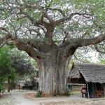 Riesiger Baobab