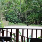 The elusive white-faced monkey made an appearance at Punta Lava while we were eating lunch!