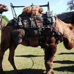 camels for riding