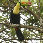 Keel-billed toucan - one of the birds seen from our verandah