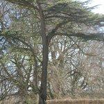 gorgeous yew tree
