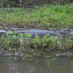 bigger gator!!