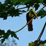 Toucan back for more