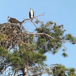 Family of Ospreys
