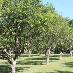 orange trees in our front orchard