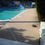 Duck relaxing on the pool deck