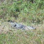 Alligator in Cypress Lake