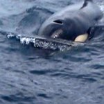 Orca's in Atauro Island