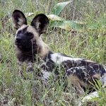 These wild dogs are SO cute...Ranger Nicky's favorite!