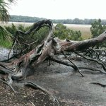 Cypress tree growing sideways
