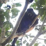 Howler Monkey at Mombacho Lodge