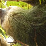 A resident Sloth of Volcan Mombacho