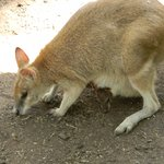 Wallaby with her Joey