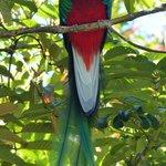 Quetzal vu à San Gerardo de Dota