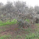 1 of 843 olive trees, hand picked by the family