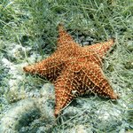 Starfish in Leinster Bay!