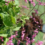 coral vine on the fence in Welfare