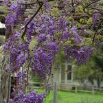 blooming Wisteria in the arbor