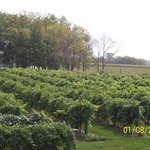 We have 8 acres of vineyards and 2+ of rhubarb.