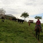 Helping to herd cattle