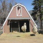 Sweet llamas!