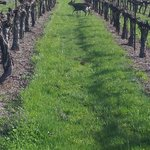 Deer through the vineyard