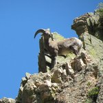 Big Horn Sheep spotted on one of our trips