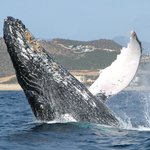 Whale Watching by Cabo Adventures
