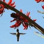 Humingbird feeding on a coral tree