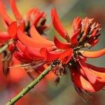 Erythrina Syksii (Coral tree) bloom