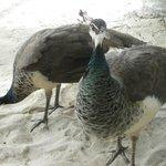 peacocks wandering around Playa Palancar