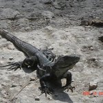 Iguanas like to bask in the hot sun.