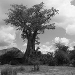 Might Baobob