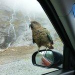 Kea in der Nähe von Milford Sound