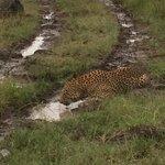 Heldig! - leaparden er sky