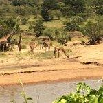 Vakker utsikt fra restauranten - Giraffene besøker