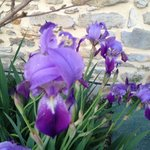Iris in thye garden