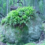 Boulder with ferns near the Little Mayberry Cove Trail