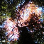 Looking up at fall foliage, Farm Cove Community Forest