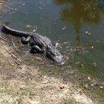 Fakahatchee roadside gator, free to see. This photo makes it look small, actually 6-7 feet long.