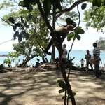 Capuchin monkey freeloading at the Manuel Antonio beach
