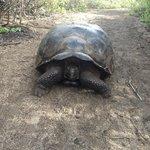 Tartaruga gigante delle Galapagos